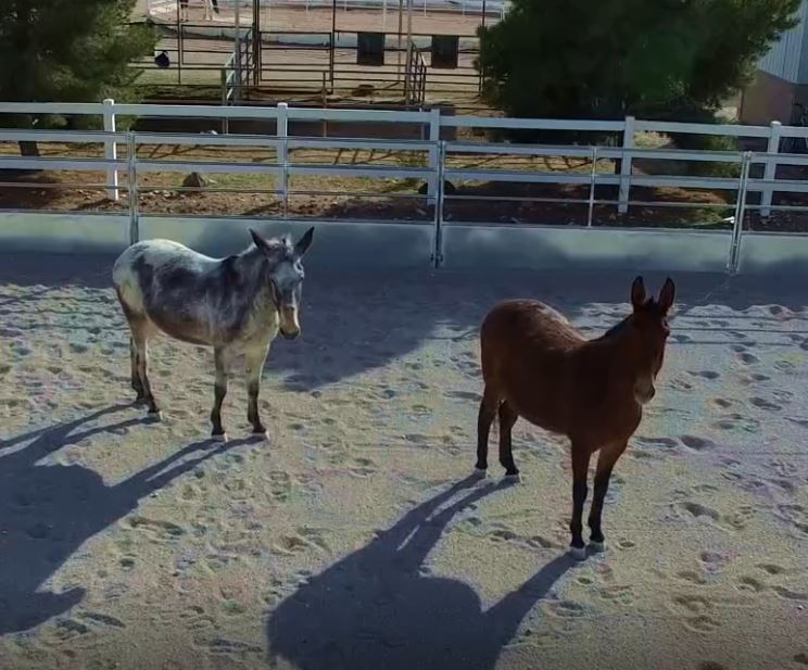 Horses Acclimating To Drones